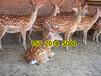 谁知道哪里有卖梅花鹿的具体价格是多少