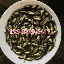全国空运四川泸州石斑鱼苗养殖基地台湾泥鳅王泥鳅鱼苗出售图片