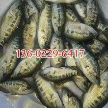 泉州淡水石斑魚苗優質石斑魚苗批發福建龍巖石斑魚苗圖片