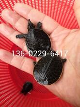 欽州珍珠鱉苗種廣西崇左山瑞珍珠鱉苗種供應圖片