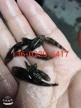 玉林笋壳鱼苗广西贵港杂交笋壳鱼苗优质笋壳鱼苗图片