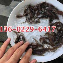 上饶本地塘鲺鱼苗江西抚州埃及塘鲺鱼苗出售三黄塘鲺鱼苗图片