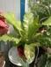 西安绿植租摆鸟巢蕨蕨类植物绿植养护鲜花速递
