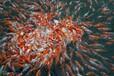 观赏鱼锦鲤养殖场