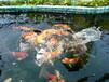 锦鲤鱼养殖场