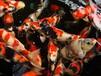 苏州永乐景观池水处理净化水质渔场锦鲤鱼批发零售