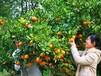 拓展基地上海长兴岛桔子采摘桔园农庄娱乐套餐环岛骑行