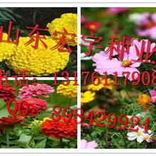 百日草种子种植方法图片