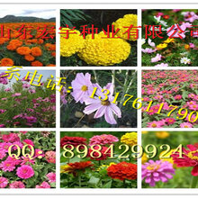 千日红种子价格图片