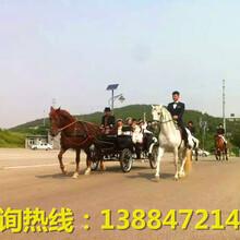 婚庆用马结婚用马庆典用马商业用马
