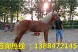 騎乘馬養殖基地三河馬養馬場棗紅馬價格