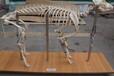 标本动物骨骼标本铸型塑化牛骨骼标本