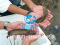 珠海本地塘鲺鱼苗水花苗-茂业水产优质种苗图片