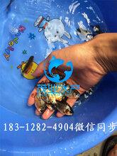 出售银鳕鱼苗/2018年银鳕鱼苗新苗4-5公分/广西银鳕鱼苗图片