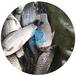 廣東茂名白鯽魚苗報價/供應3-8公分白鯽魚苗/出售茂名黃金鯽魚苗中