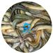 泥鰍苗求購2020年江西泥鰍魚苗最低批發價南昌泥鰍魚苗批發