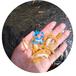 空運金草魚苗/江西金草魚苗養殖批發/江西萍鄉俄羅斯金絲鯇魚苗批發