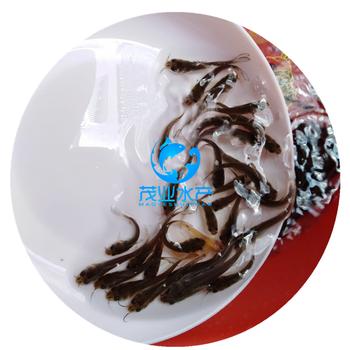 广东肇庆斑点叉尾鮰鱼苗倍投法场-斑点叉尾鮰鱼苗多少钱一尾-量大从优-包送