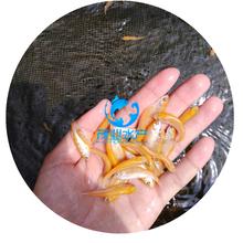 海南三亚金草鱼苗/俄罗斯金丝鲩鱼苗价格/广东湛江金草鱼苗基地