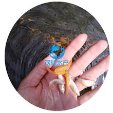 遂川县俄罗斯金丝鲩鱼苗批发吉安金丝草鱼苗报价江西金草鱼苗养殖