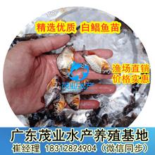 鲳鱼苗养殖场批发梅州白鲳鸡鲳燕仔鲳鱼苗热卖中广东茂业水产图片