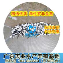 2020罗非鱼苗批发价广东淡水鱼苗养殖场供应湛江罗非鱼苗优质养殖图片