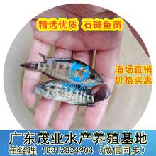2020年广东淡水石斑鱼苗最新批发价佛山淡水石斑鱼苗各种鱼苗茂业水产大量供应图片