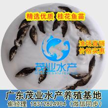 广西优质桂花鱼苗孵化养殖场直销贵港桂花鱼苗养殖技术提供图片