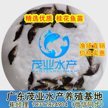 广东优质桂花鱼苗,求购汕尾翘嘴桂花鱼苗最新批发价茂业水产大量提供图片