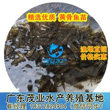 黃角丁魚苗批發珠海黃顙魚苗養殖基地廣東黃顙魚苗養殖前景指導圖片