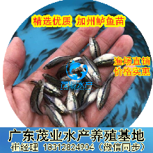 湖南加州鱸魚苗3公分起批發鱸魚苗養殖技術指導分析魚料配備圖片