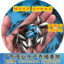 广西优质鲈鱼苗加州鲈鱼苗寸苗出售北海加州鲈鱼苗批发大口黑鲈鱼苗报价图片