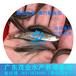 廣東軍魚苗養殖場供應優質魚苗青竹鯇魚苗批發價與養殖成本指導