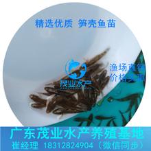 求购笋壳鱼苗批发江西上饶优质笋壳鱼苗优选茂业水产笋壳鱼寸苗价格实惠图片