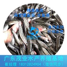烏鱧生魚財魚苗熱銷惠州黑魚苗養殖批發廣東黑魚苗養殖基地供應寸苗水花圖片