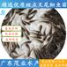陽江優質茂業水產斑點叉尾鮰魚苗廠家直銷