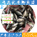 鯽魚苗養殖場直銷鯽魚苗培育技術講解廣東茂業水產