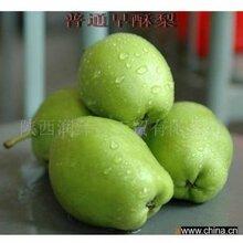 陕西渭南蒲城特大六月酥.早酥梨正在热定中图片