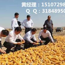 谁知道哪里大量收购玉米,常期收购玉米(优质厂家)图片