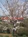 蘇州私家庭院景觀、別墅庭院景觀綠化工程、景觀樹造型樹市場、日本櫻花樹