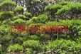 苏州光福花木苗圃、造型榆树桩、古桩盆景景观树、别墅绿化工程、庭院景观绿化施工