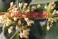 蘇州桂花樹,金銀桂,丹桂,四季桂,蘇州綠化苗木