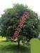 苏州树苗树木市场、造型罗汉松、苏州绿化苗木价格、景观树木古桩、庭院别墅绿化工程