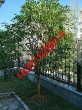 苏州园林景观绿化,别墅绿化果树苗木,庭院造型苗木价格