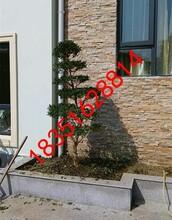 园林景观绿化、苏州庭院绿化、造型瓜子黄杨树,别墅庭院果树苗木