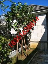 苏州别墅景观绿化工程、苏州绿化设计施工、庭院私家绿化、庭院别墅景观果树苗木