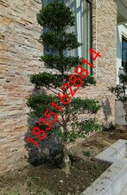 苏州庭院别墅绿化设计施工、苏州园林古桩、苏州绿化工程公司,造型树古桩盆景苗圃