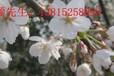 蘇州庭院景觀設計、別墅果樹樁、綠化公司、景觀樹廠家、苗木批發廠家