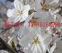 蘇州櫻花樹苗木基地,櫻花,國櫻,日本櫻花,蘇州綠化工程花木批發