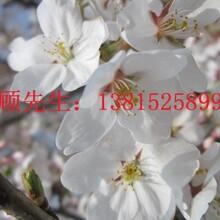 苏州樱花树苗木基地,樱花,国樱,日本樱花,苏州绿化工程花木批发